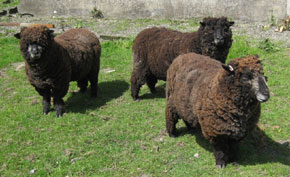 Ryeland Fleece for sale